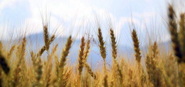 wheat-1149885_1920-720x340